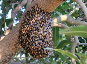 Honey Bees Natural Colony