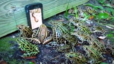 Frogs watching a worms video