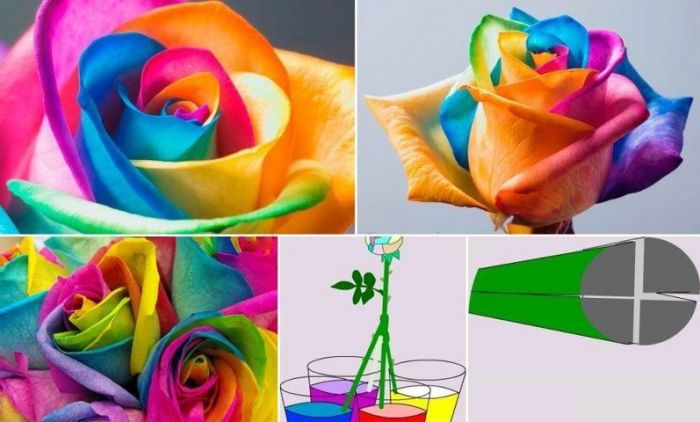 How to make rainbow roses images for How to make a multicolored rose