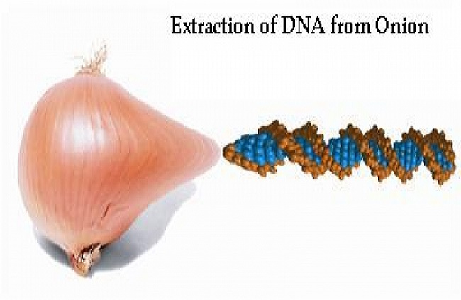 lab report on the extraction of onion dna The procedure for dna extraction is really a procedure for  a scientist with a lab purified sample of genomic dna might also try to sequence it or use it to.