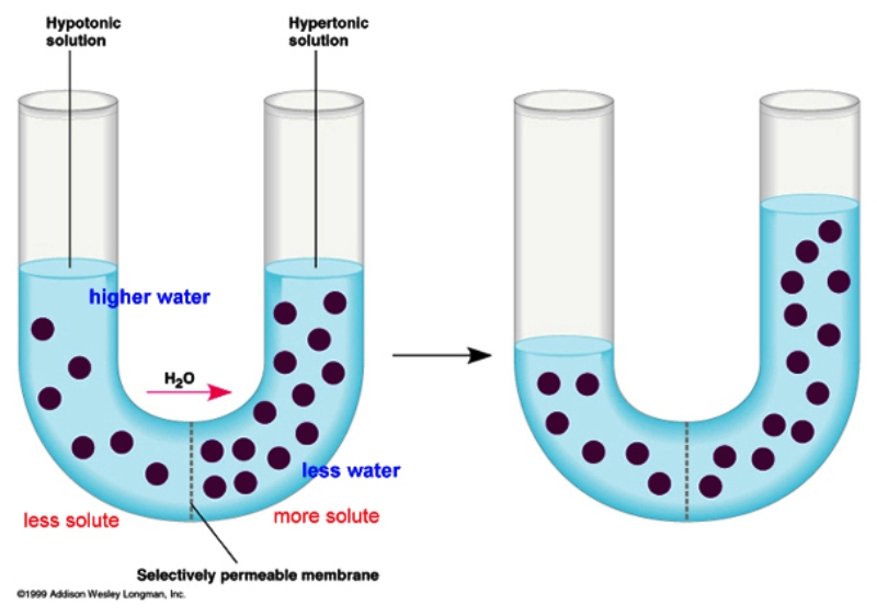 diffusion across permeable membrane Is usually accomplished by osmosis osmosis: special case of diffusion of water (high to low) key: where's there more concentration the water is going to move to the only thing that moves is water (solvent) and not the solute (sugar) dialysis: the diffusion of a solute across a selectively permeable membrane dialysis.